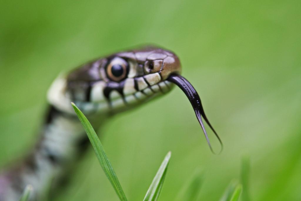 Snake Hiss